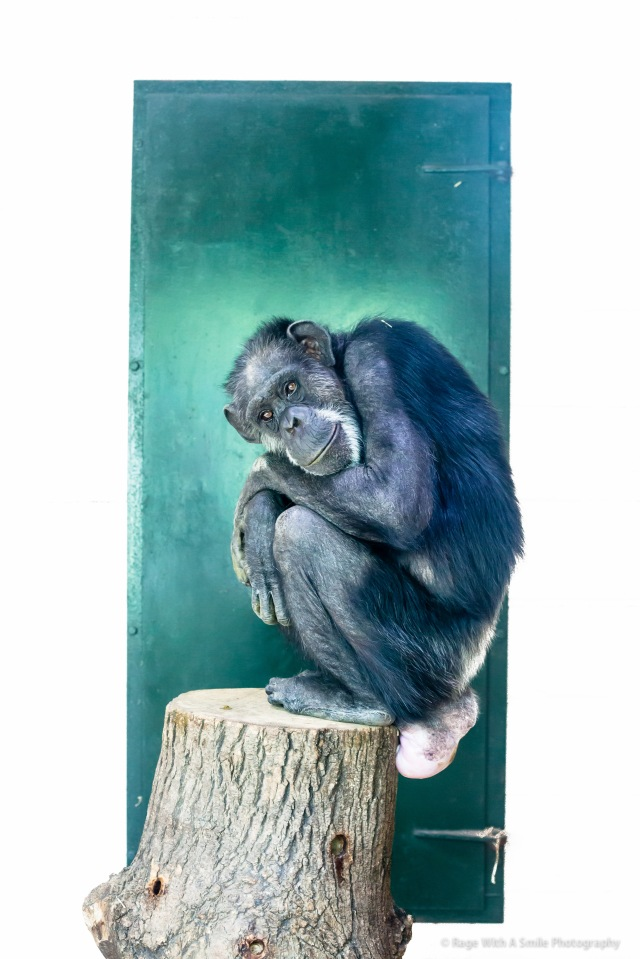 Longing for a lost love: Chimpanzee at Africa Alive